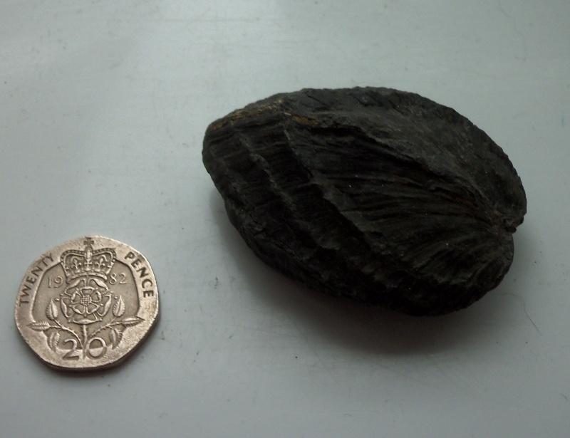 unusual brachiopod/bivalve found at Runswick Bay 21.10.12 can anyone identify? 100_1719