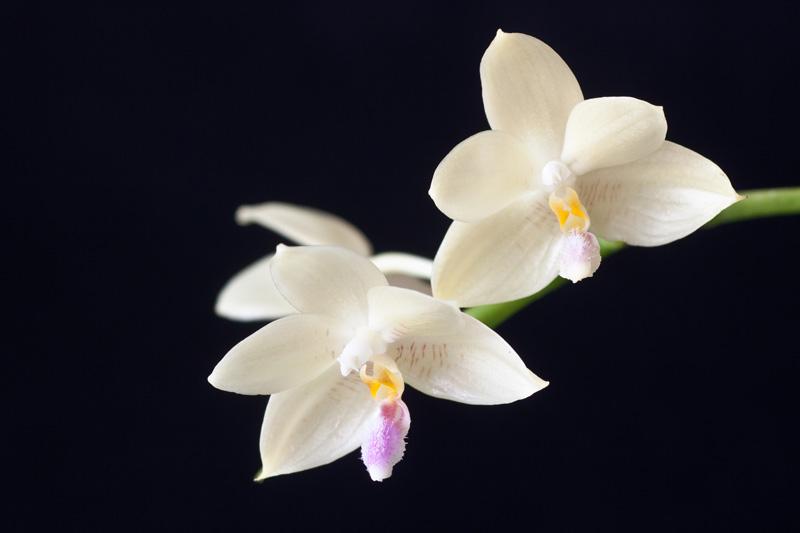 Phalaenopsis floresensis Phalae10