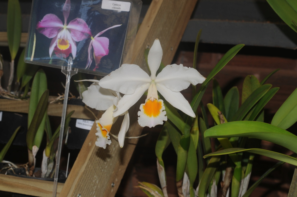 Cattleya wallisii f. alba  00510