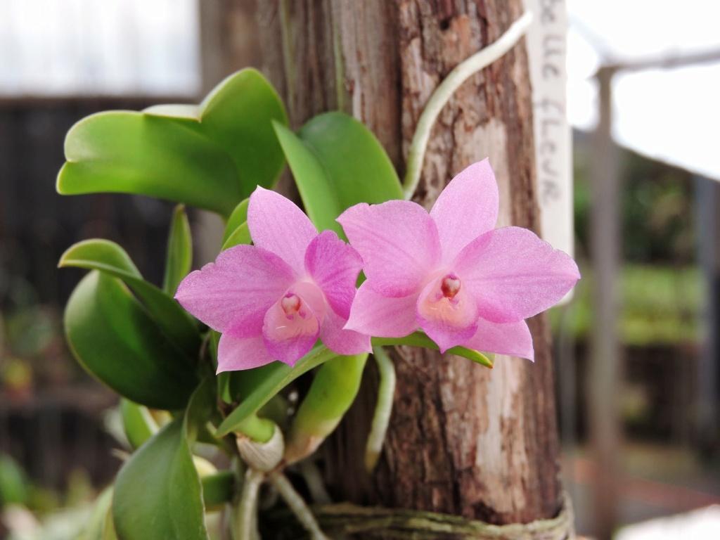 Photos d'orchidées inédites   - Page 10 17180610