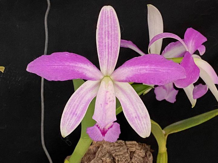 Photos d'orchidées inédites   - Page 10 17397111