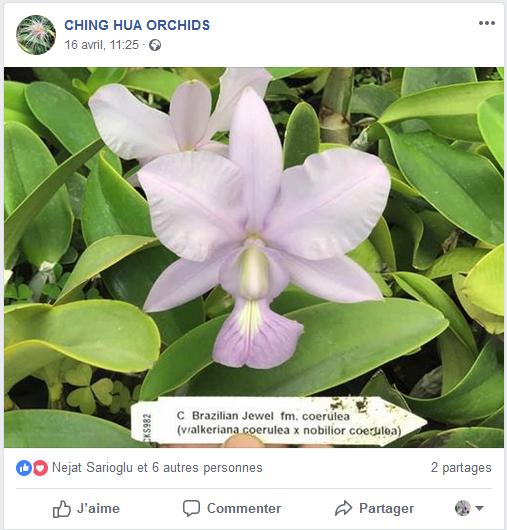 Cattleya violacea et contrefaçons... Captur16