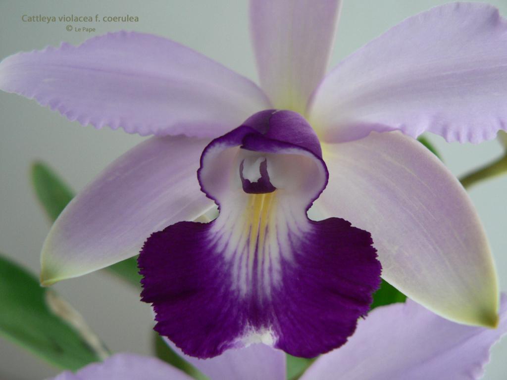 Cattleya violacea et contrefaçons... Cattl100