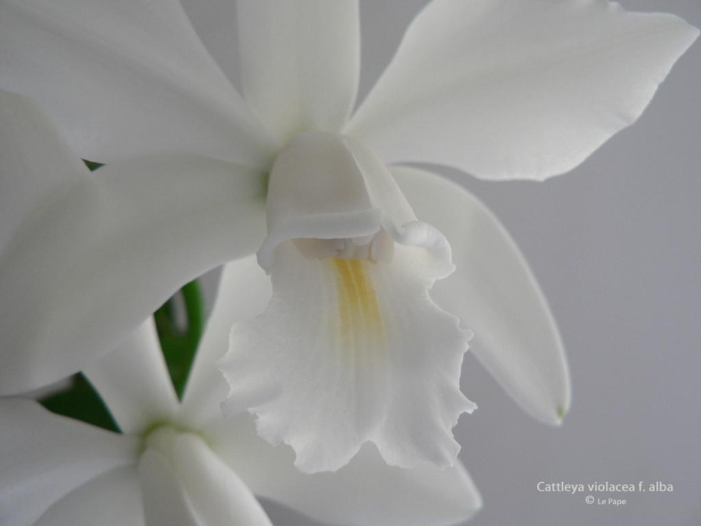 Cattleya violacea et contrefaçons... Cattl101