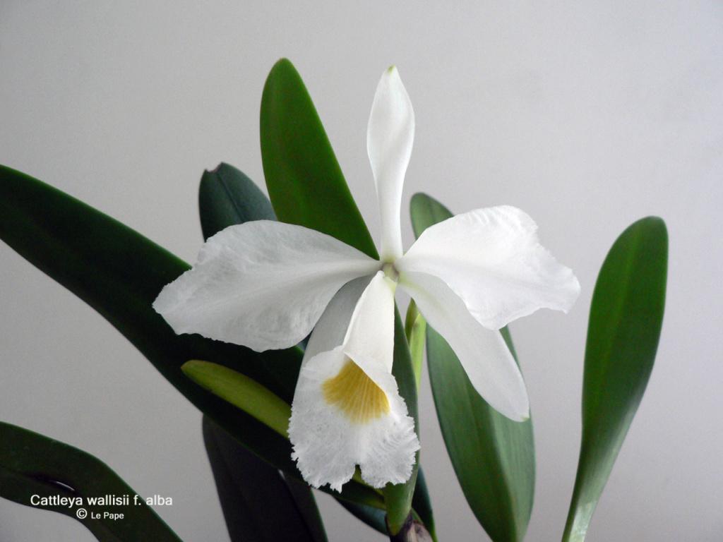 Cattleya wallisii f. alba  Cattl143