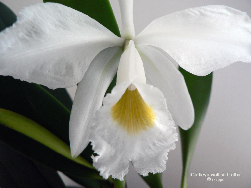 Cattleya wallisii f. alba  Cattl144