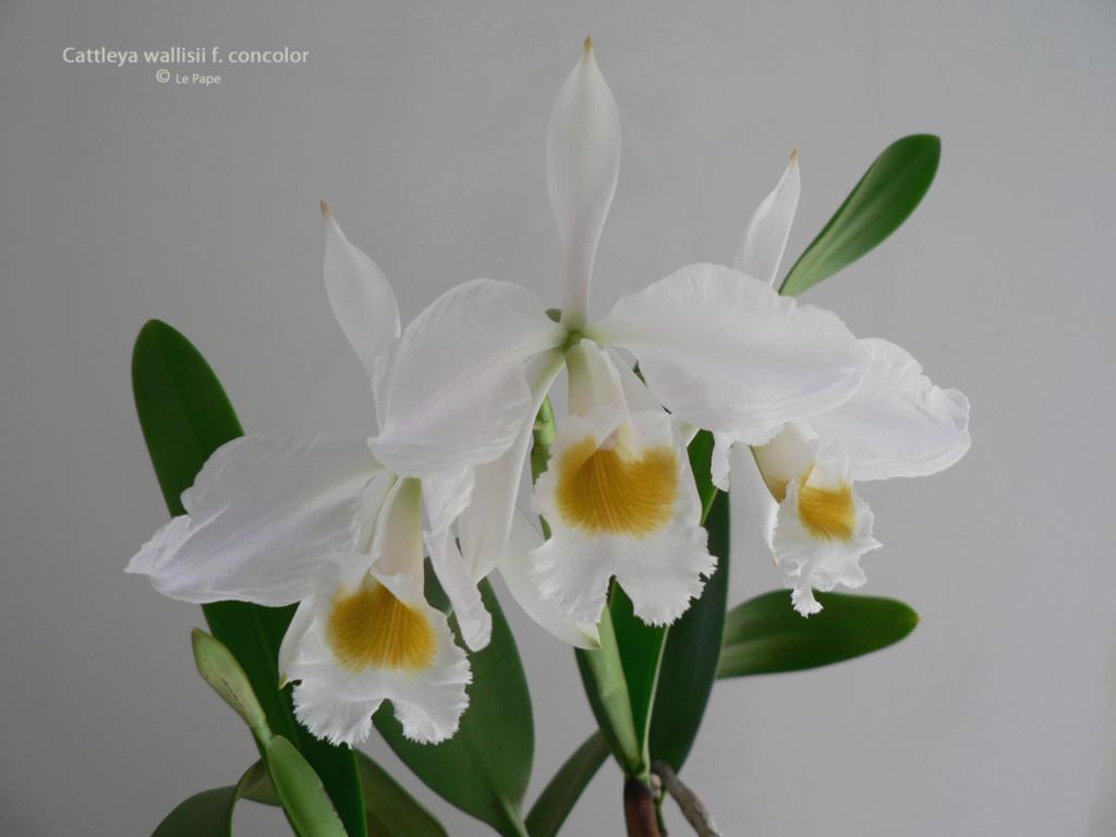 Cattleya wallisii f. alba  Cattl146