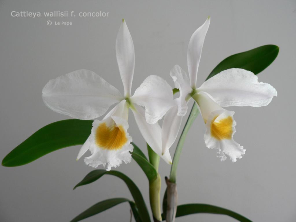 Cattleya wallisii f. alba  Cattl147