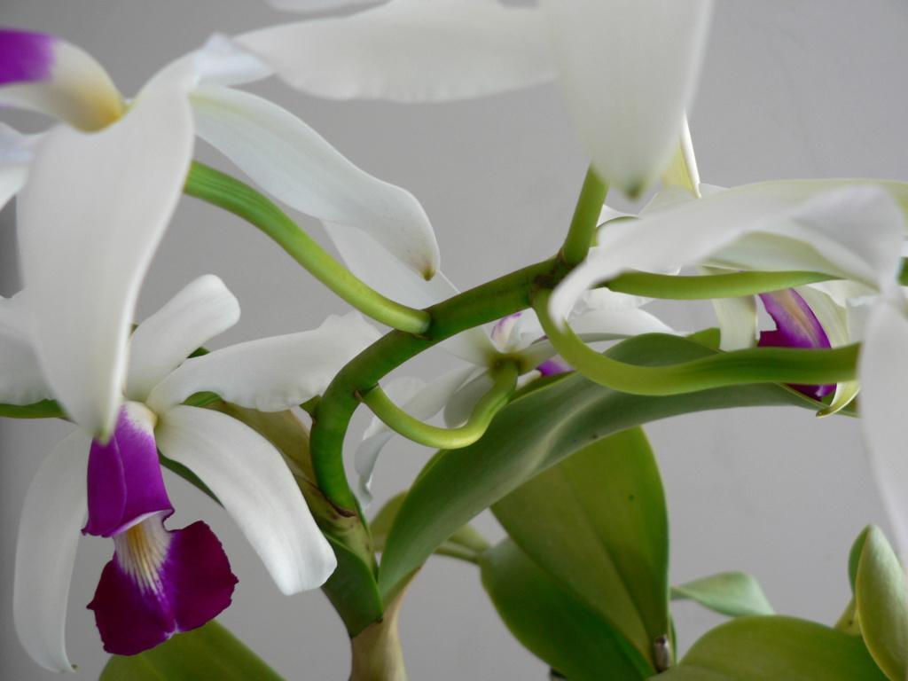 Cattleya violacea f. semi-alba  Cattle12