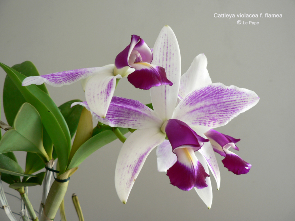 Cattleya violacea f. flamea Cattle13