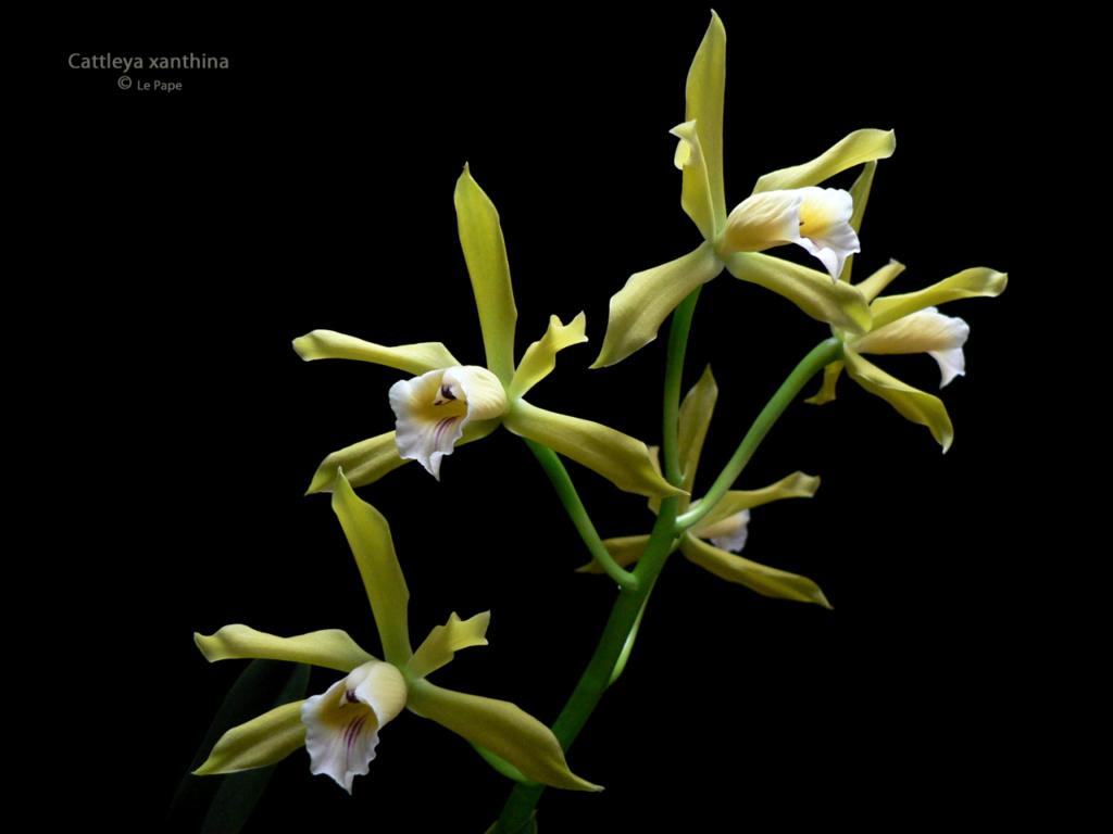 Cattleya xanthina Cattle15