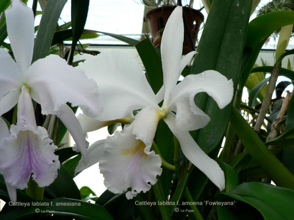 Cattleya labiata f. amesiana et Cattleya labiata f. amoena 'Fowleyana' Cattle44