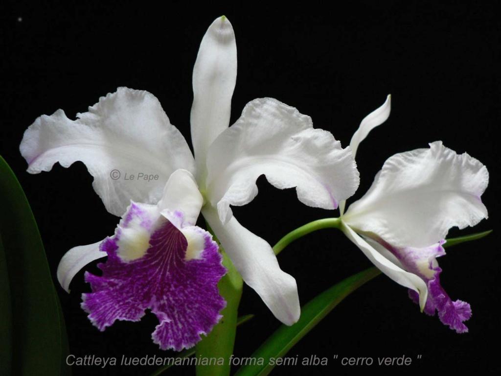 Cattleya lueddemaniana f. semi alba ?  Cattle48