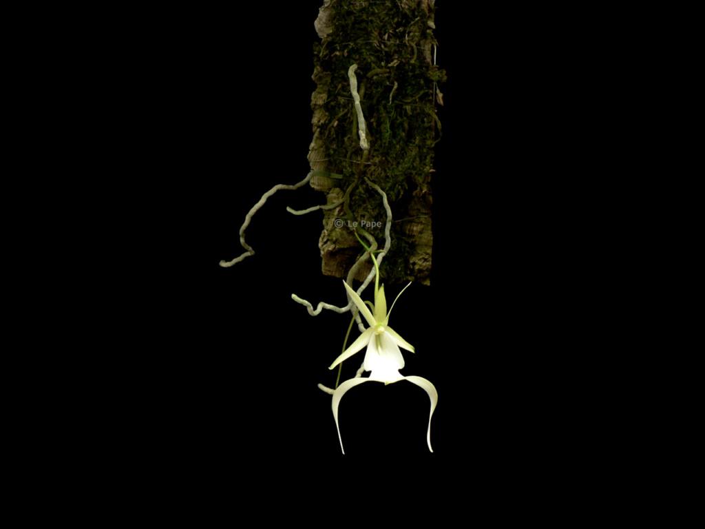 [résolu]Dendrophylax Lindenii Dendro24