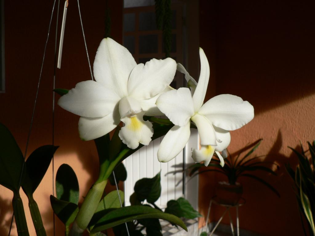 Cattleya violacea et contrefaçons... P1060610