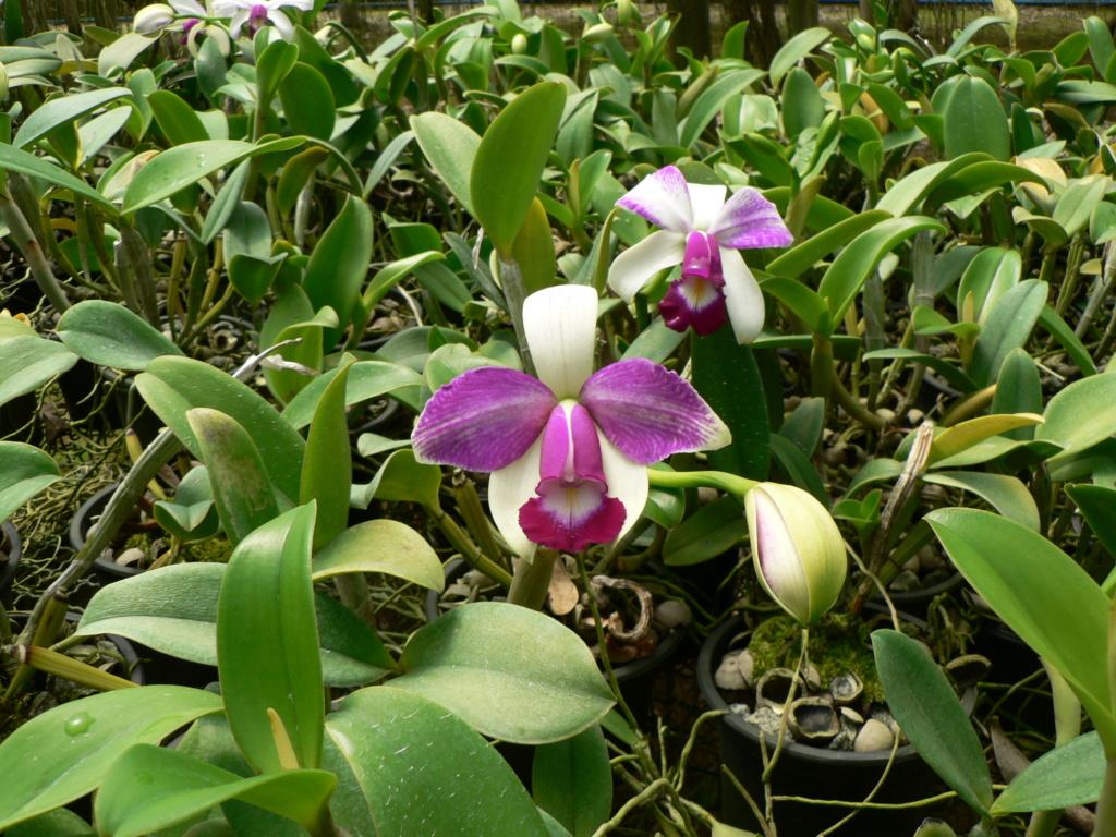 Cattleya violacea f. flamea P1200911
