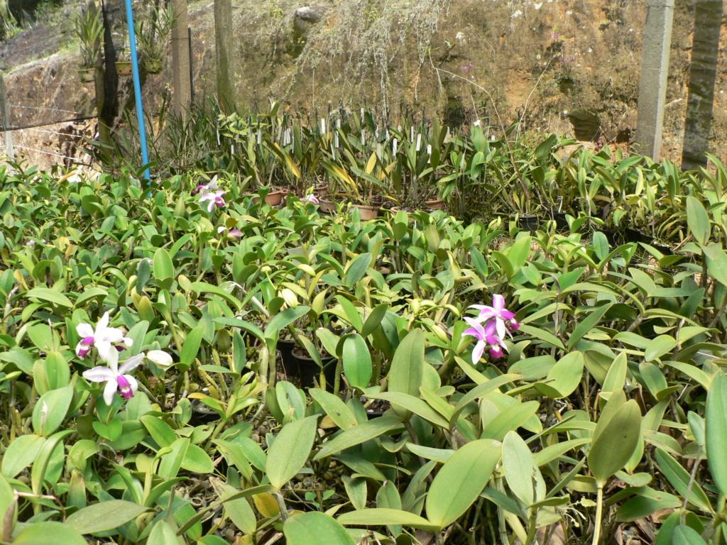 Cattleya violacea f. flamea P1200912