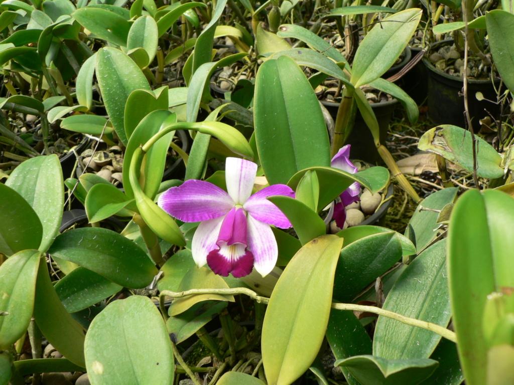 Cattleya violacea f. flamea P1200913