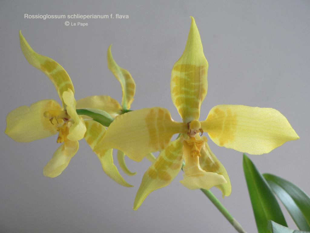 Rossioglossum schlieperianum f. flavidum Rossio10