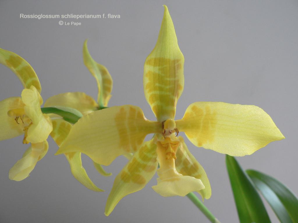 Rossioglossum schlieperianum f. flavidum Rossio11