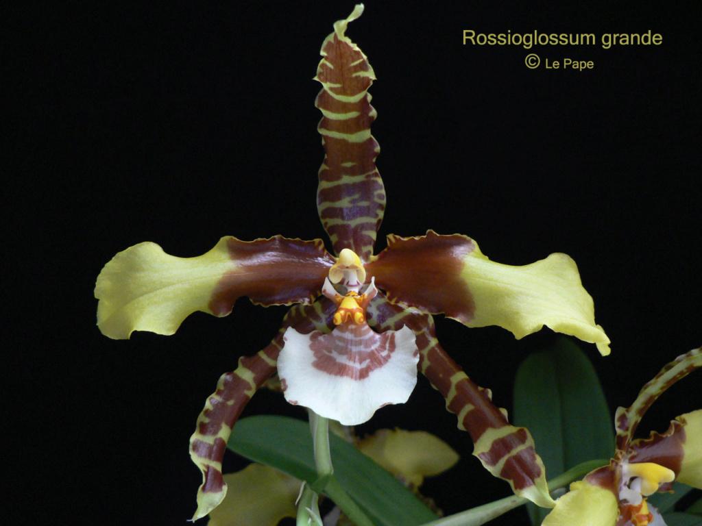 Rossioglossum Rawdon Jester Rossio13