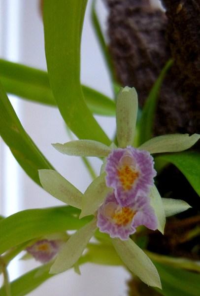 Miniatur- Orchideen - Seite 5 P1000316