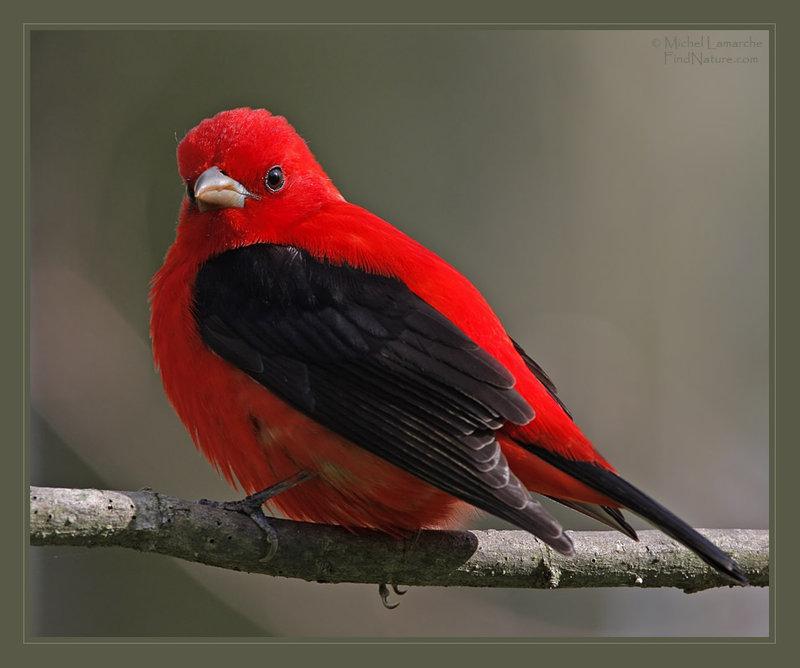 Cardinal rouge à dos noir? Tangar11