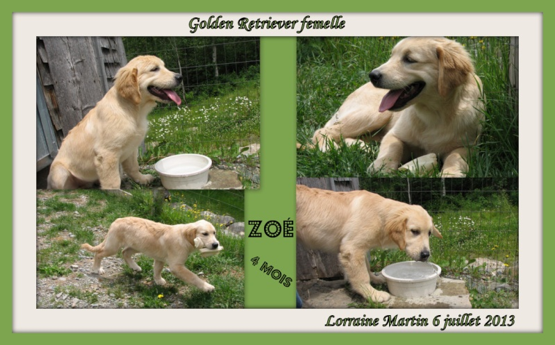 Golden retriever 4 mois  Zoa4_p10