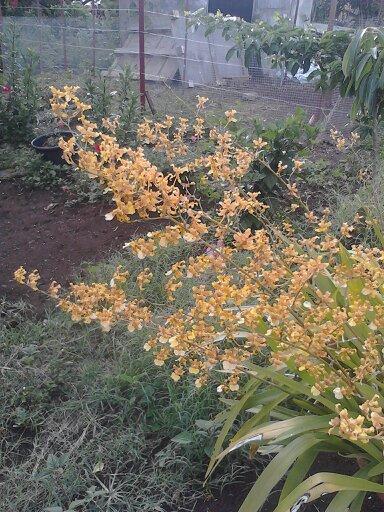 orchidées au jardin de Laurent - La Réunion 13720110