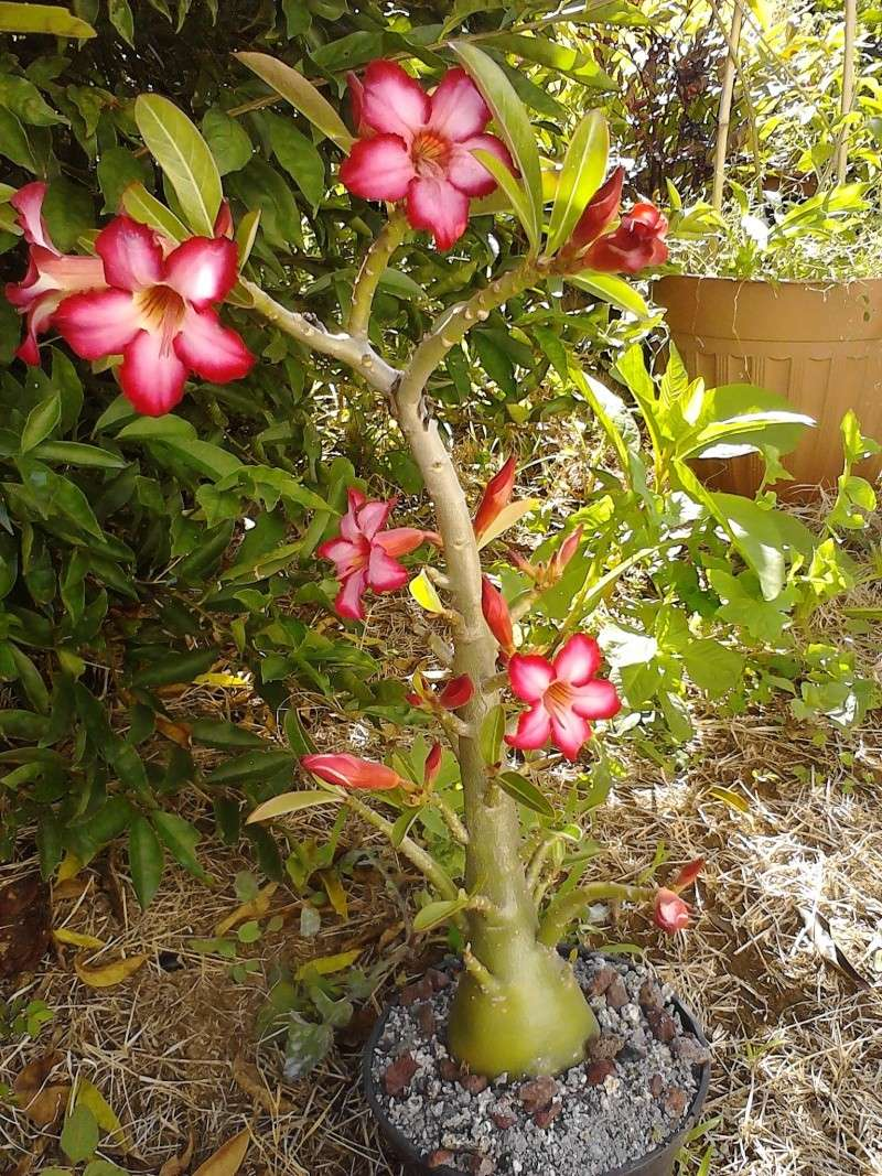Adenium et Pachypodium : enfin des floraisons - Page 3 Img_2061