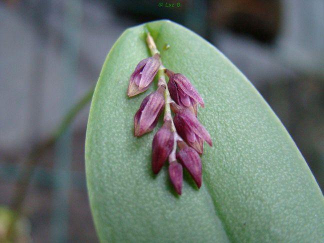 Acianthera modestissima Aciant10