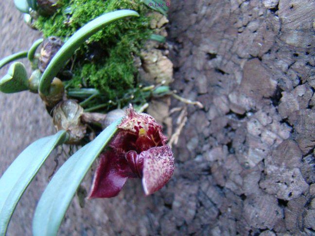 Bulbophyllum frostii Bulbop11
