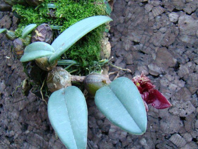 Bulbophyllum frostii Bulbop12