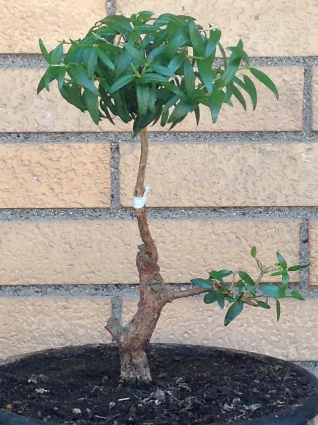 da mirto da vivaio a futuro bonsai - Pagina 2 03510