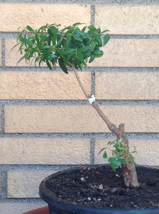 da mirto da vivaio a futuro bonsai - Pagina 2 03610