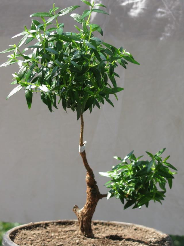 da mirto da vivaio a futuro bonsai - Pagina 2 Img_3019