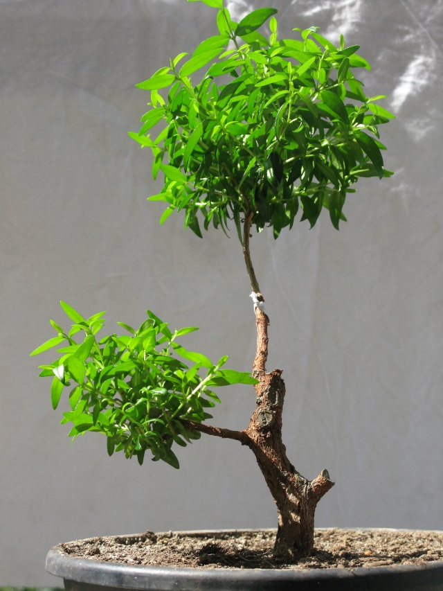 da mirto da vivaio a futuro bonsai - Pagina 2 Img_3020