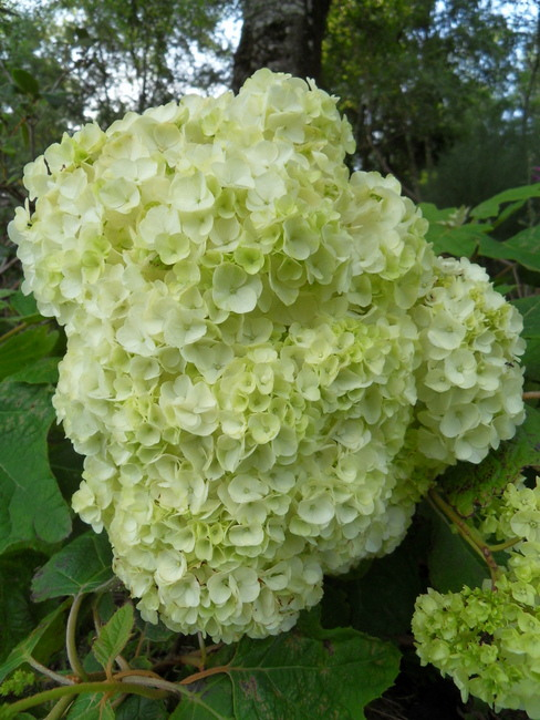 hortensia - Page 6 Sdc13710