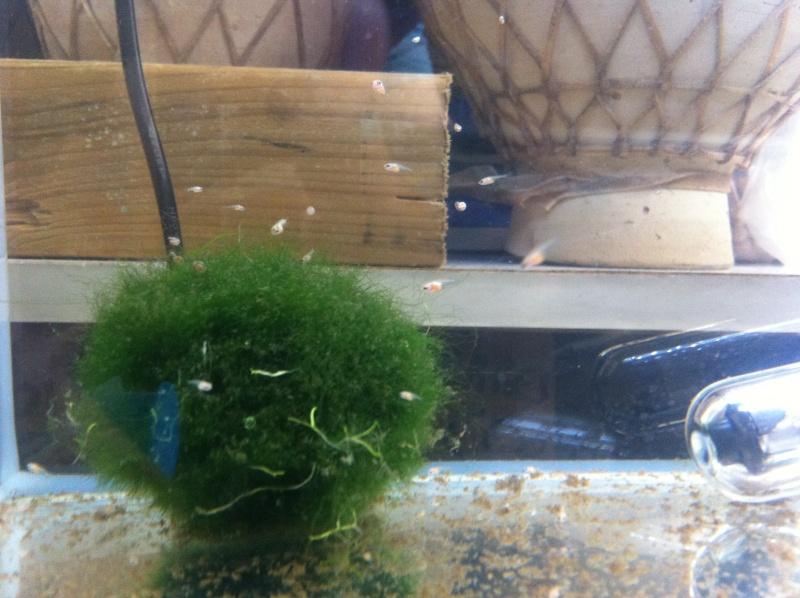 Male pkhm black blue dragon X femelle hm red dragon  Img_3211