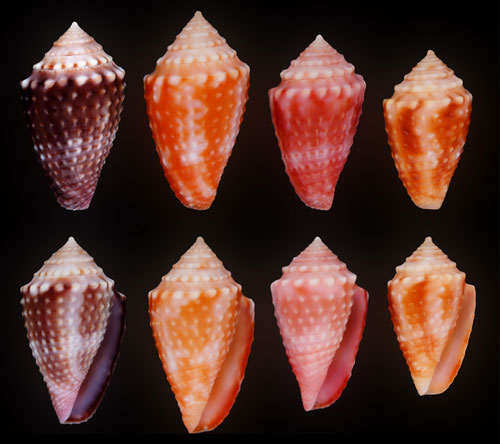 Conasprella (Ximeniconus) vanhyningi (Rehder, 1944) Jaspid10
