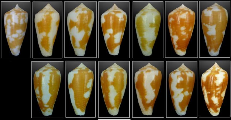 Conus (Pionoconus) robini  Limpalaer & Monnier 2012 - Page 2 Sans-t15