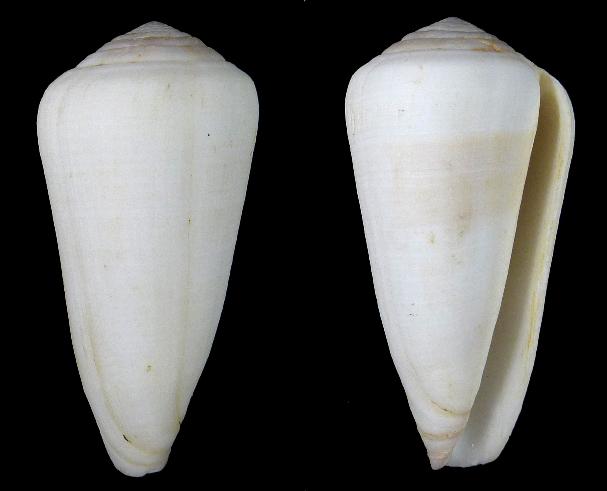 Virgiconus malabaricus Monnier & Limpalaër & Tenorio, 2017 Thomas10