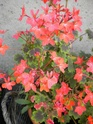 mes pelargonium Dscn1124