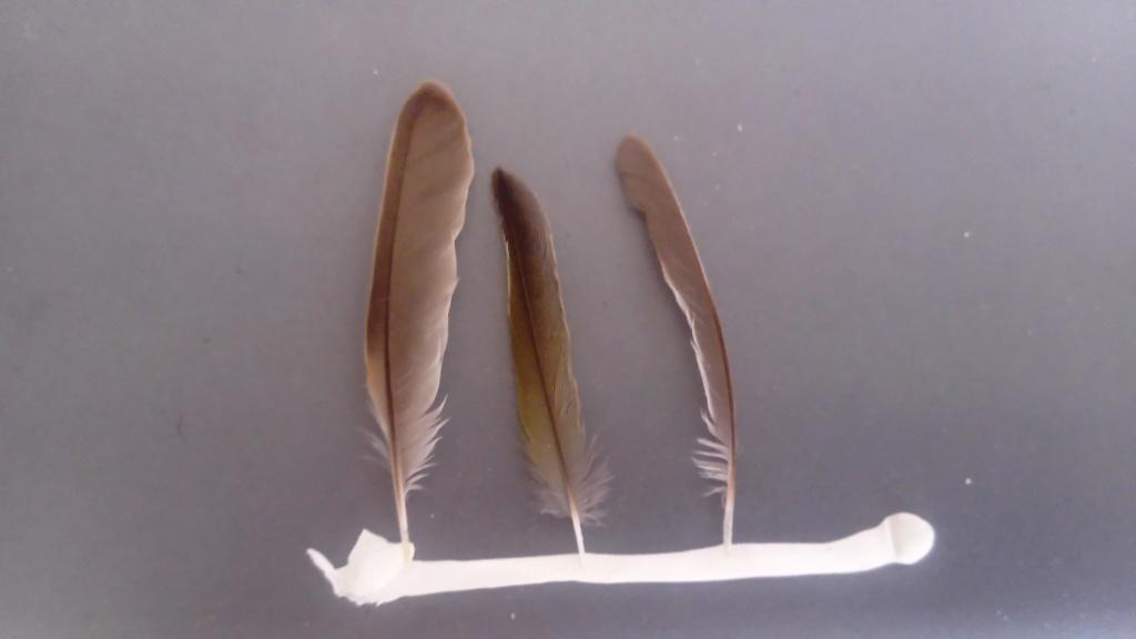Quelques plumes de passereaux Dsc_0012