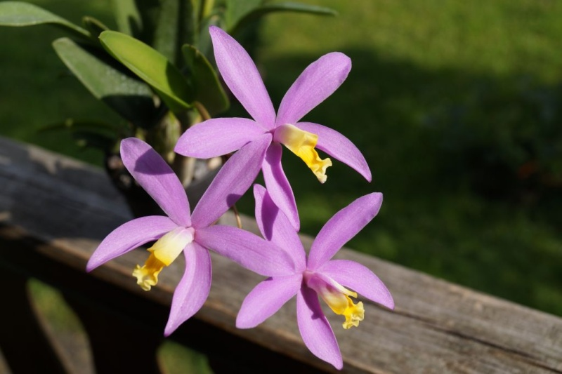 Laelia lucasiana Hybride Dsc00810