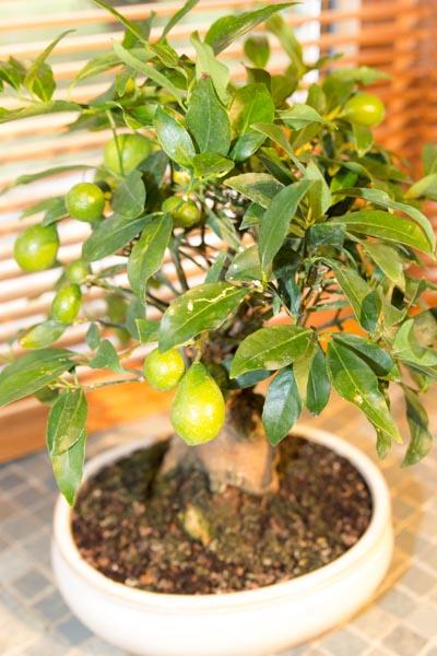 Bonsai citrus myrtifolia Img_1010