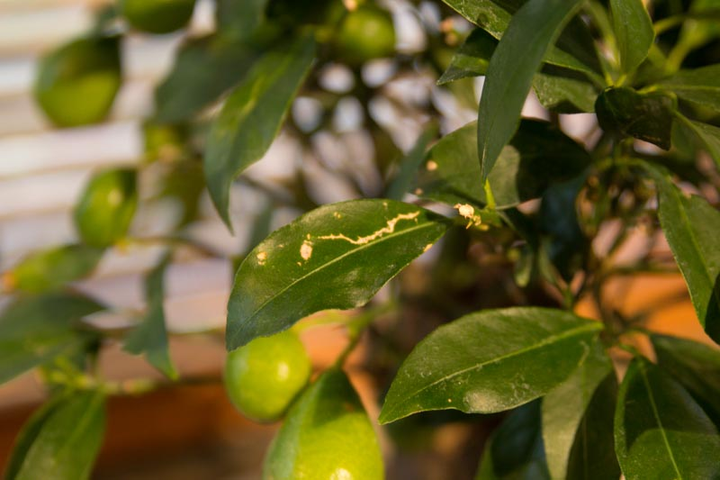 Bonsai citrus myrtifolia Img_1011