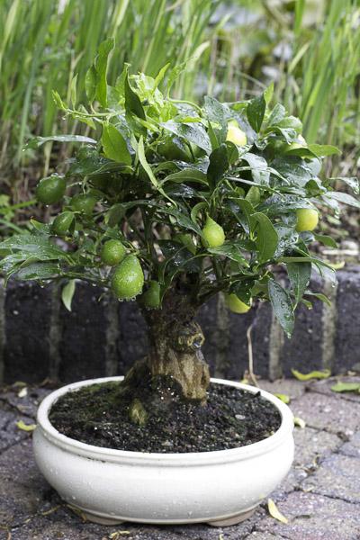 Bonsai citrus myrtifolia Myrtif10
