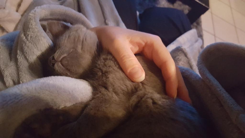Ombrelle, chatonne grise type européenne née le 27.08.18 20181120