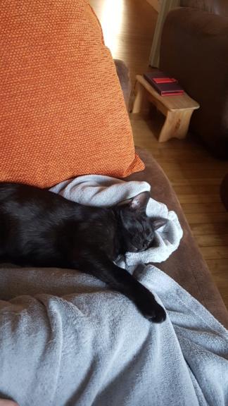 Owlie, petite chatte smoke née le 01/09/2018 20190411